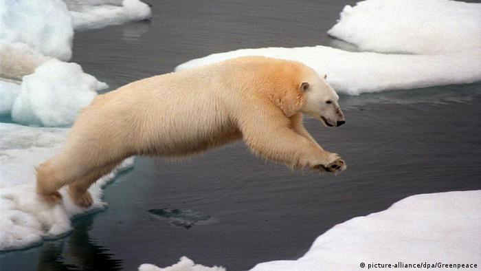 A polar bear jumping from an ice floe