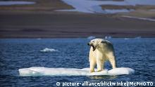 Norwegen | Eisbär auf Eisscholle