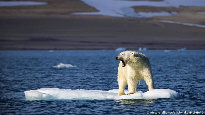 Urso polar sobre camada de gelo