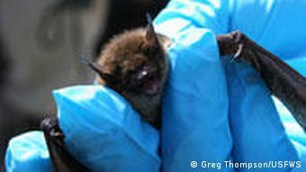 A little brown bat being held in a blue glove.