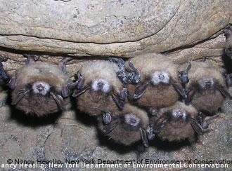 A cluster of bats in a cave.