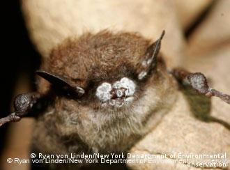 A bat with white nose syndrome in a woolen glove