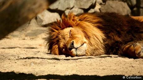 Ein schlafender Löwe