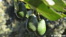 Avocado-Plantage Ideale Bedingungen: Im mexikanischen Bundesstaat Uruapan lassen vulkanische Böden und viel Regen einen hohen Ertrag zu. Fotograf (Copyright): Franz Viohl