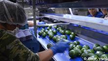Reportage Avocados Mexiko - Avocado-Fabrik