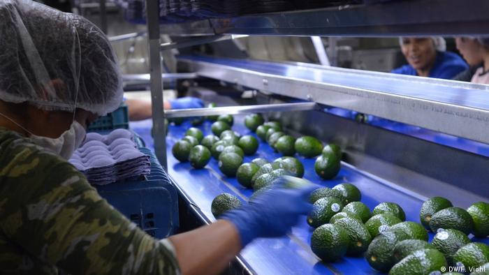 Arbeiterinnen sortieren beschädigte Avocados aus