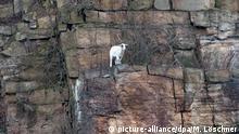 BdT Ziege steht in Felswand