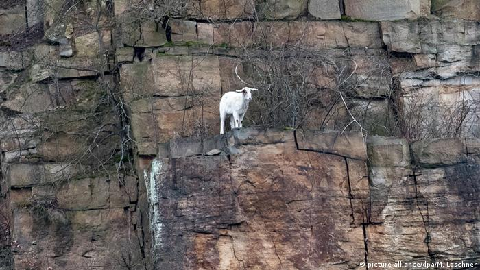 Una cabra blanca para sobre una roca