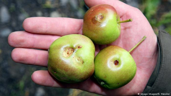 BG Nahrung Klimawandel | Äpfel mit Hagelschäden (Imago Images/S. Hässler)