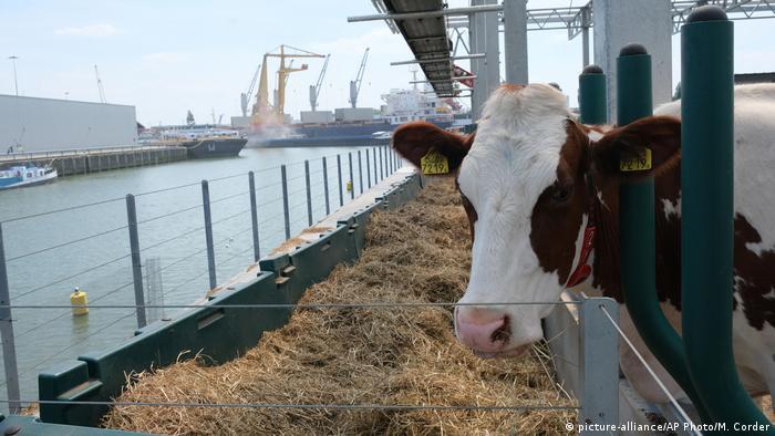 Una vaca en una granja flotante de Róterdam