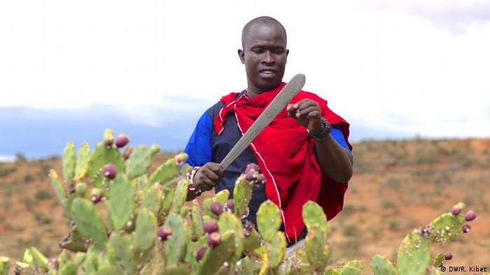 Francis Merenyi cuts up the prickly pear cactus, an invasive species in Kenya