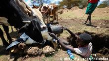 (170301) -- LAIKIPIA (KENYA), March 1, 2017 () -- A herder collects water for his cattle in Laikipia County, Kenya, on March 1, 2017. The UN Food and Agriculture Organization (FAO) has warned that Kenya was facing a severe drought and with it a rise in food insecurity. Current estimates show over 2 million people are food insecure. (/Pan Siwei) |