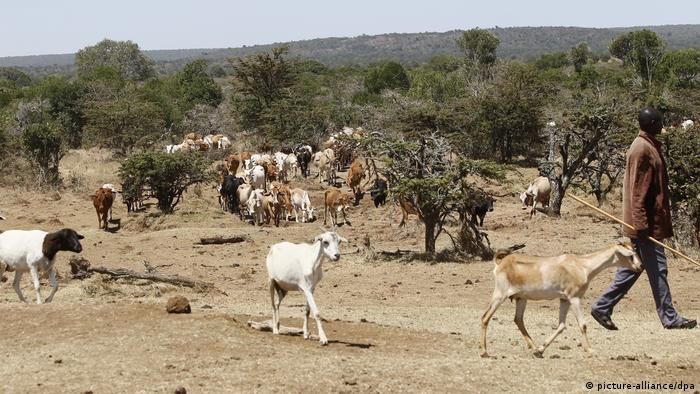 A herder leads his goats through an arid landscape in Laikipia county in Northern Kenya