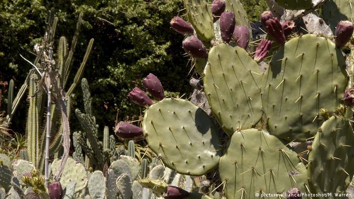 A prickly pear plant with purple fruit