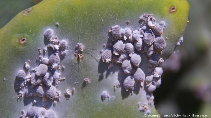 Cochineal insects on a cactus pad