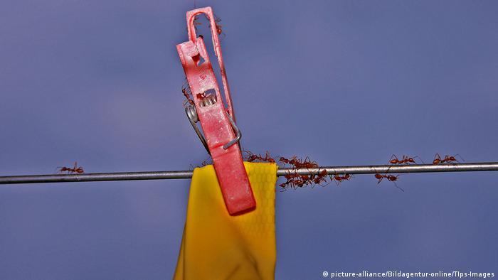 clothes pin holds yellow cloth on clothesline, ants crawl across (picture-alliance/Bildagentur-online/TIps-Images)
