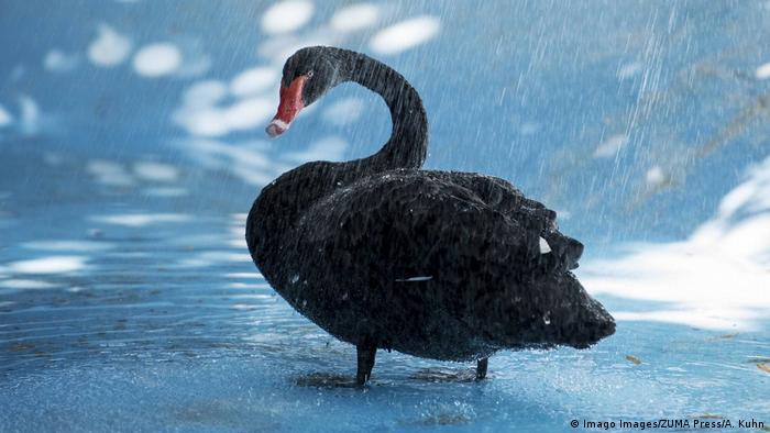 Crni labud na kiši