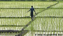 A farmer walks through a paddy fields at Mayong in Morigaon district, some 70 kms from Guwahati in India's northeastern state of Assam on March 4, 2020. (Photo by Biju BORO / AFP) (Photo by BIJU BORO/AFP via Getty Images)