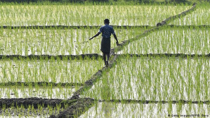 A man walks through a paddy field in the Indian state of Assam.