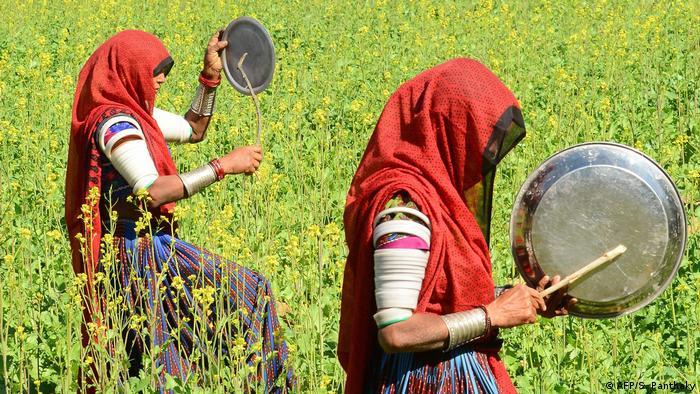 زنان روستایی در هندوستان با ایجاد صدا تلاش دارند ملخ ها را از کشتزارشان فراری بدهند.