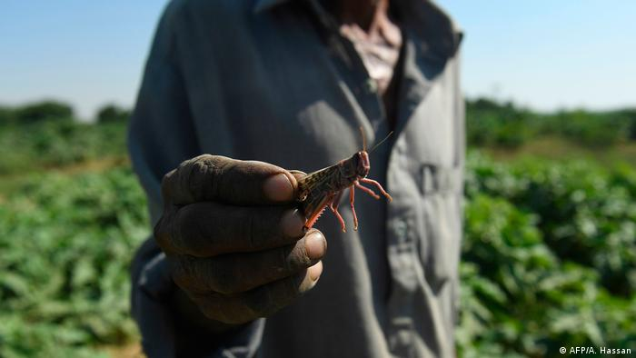 Foto de una persona que muestra una langosta voladora