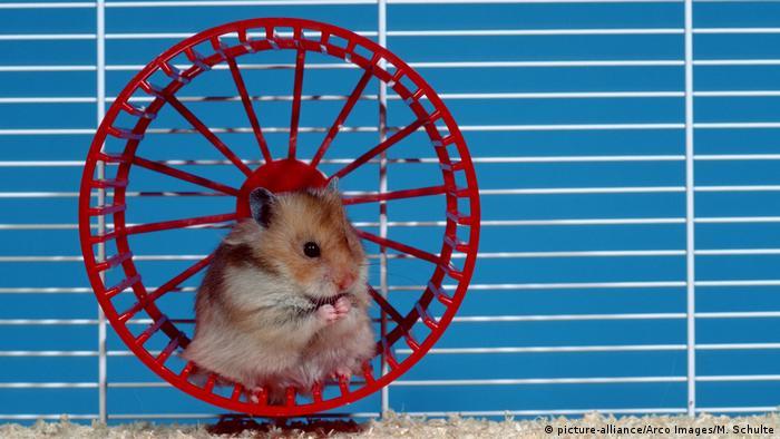 حيوان الهامستر نشيط ويحب الجري على العجلة الخاصة به.