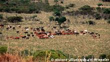Rinderzucht in Uruguay