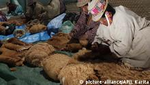 In this Oct. 7, 2013 photo, Aymara Indian women clean freshly sheared vicuna wool in the bi-annual corralling and shearing of wild vicuna at the Apolobamba protected natural area in the Andean village of Ucha Ucha, Bolivia. Every two years, Aymara Indian families near Ucha Ucha organize to shear the wool of these wild vicuna, a camelid that lives in the Andes' highland areas. The vicuna are an endangered species previously hunted by poachers for their fine wool. Today Bolivia protects them in this reserve, shearing and selling the wool worldwide without killing the animal. According to the families, they sell the wool through the country's national wool organization and split the money evenly, which in 2011 was about $300 dollars per family. (AP Photo/Juan Karita)  