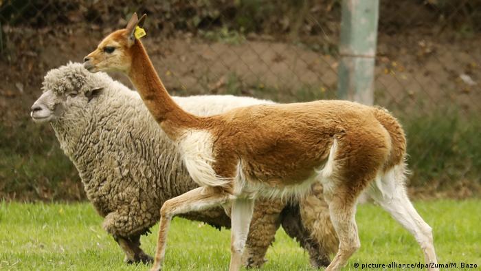 Bolivien Vikunja-Tiere (picture-alliance/dpa/Zuma/M. Bazo)