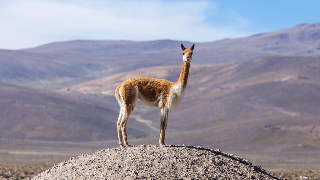 La lana de vicuña, la más fina del mundo | Ecología | DW | 19.04.2020