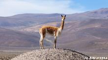Vikunja in Los Andes Peru