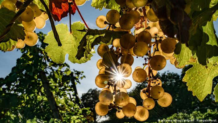 BdT - Riesling (picture-alliance/dpa/F. Rumpenhorst)