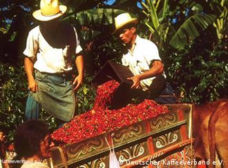 Транспортировка кофе в Коста-Рике: двое мужчин пересыпают красные зерна кофе в небольшую тележку, запряженную лошадью