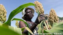 BG Wasserverbrauch Anbauprodukte Afrika | Hirse in Simbabwe