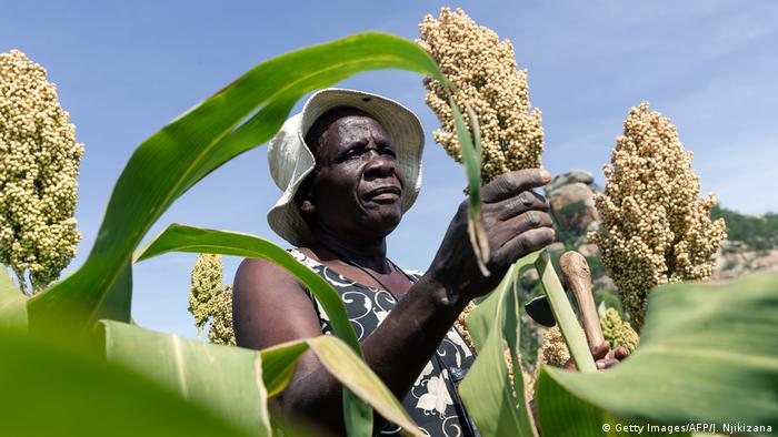 Angeline Kadiki, a sorghum farmer, inspects her small grains crop thriving in the dry conditions in the Mutoko rural area of Zimbabwe