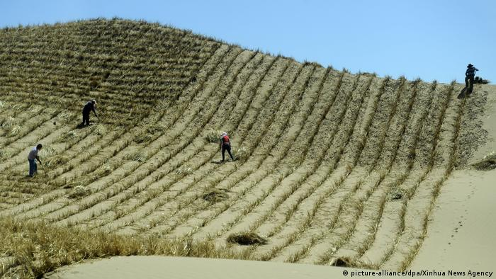 In northwest China, workers move through sand which is planted with young trees in checkerboard fashion