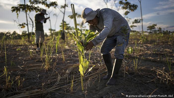 Seorang pria menanam pohon di Peru