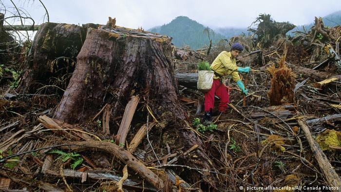 Seorang pria yang bergerak melalui sisa-sisa penggundulan hutan