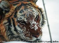 Tigre siberiano: ameaçado de extinção