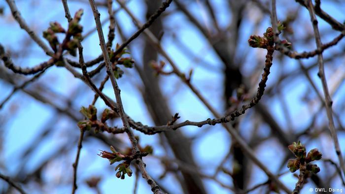 Knospen vor der Bonner Kirschblüte 2020 (DW/L. Döing)