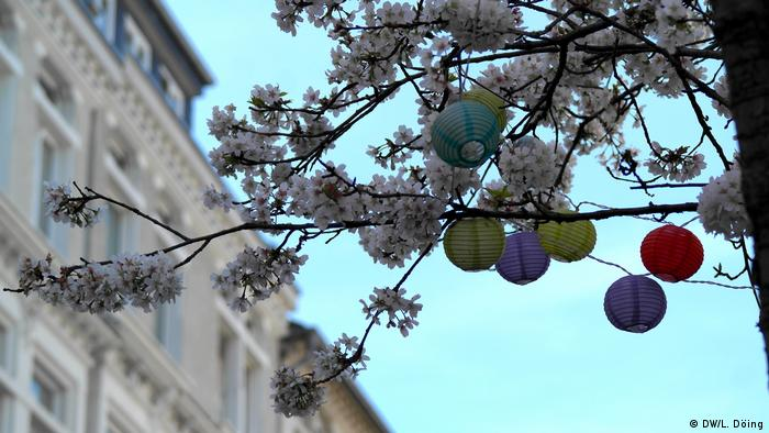 Buds and tiny flowers on cheery trees, with paper lanterns suspended, in Bonn, 2020 (DW/L. Döing)
