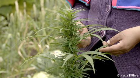 Plantação de cannabis