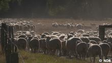 Global Neuseeland Schafe als Umweltsünder?