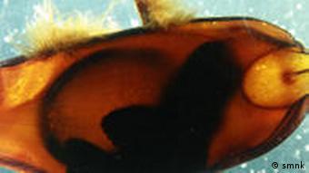 Bamboo shark embryo