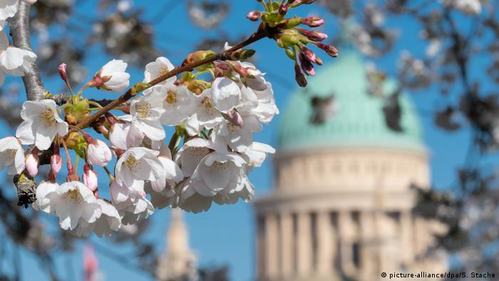 La primavera trae a Alemania la belleza de las flores de cerezo blancas y rosadas, un espectáculo que no solo hace las delicias de los que viven aquí, sino que suele atraer a gran cantidad de turistas. Ahora, con las calles no tan pobladas, y muchas de ellas en silencio, despojadas del ruido, se las puede observar con más tranquilidad, y disfrutar con calma. Esta postal es de Potsdam.