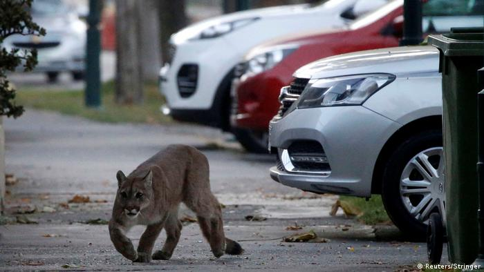 Chile Ein Puma wurde gefangen (Reuters/Stringer)