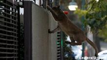 Chile Ein Puma wurde gefangen