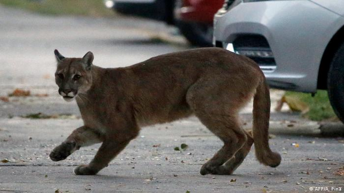 An approximately 1-year-old puma in the streets of Santiago