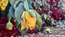 Flower exporters lost in Ethiopia , Bahirdar, Ethiopia