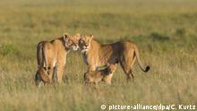 des lionnes dans la Réserve Masai Mara National au Kenya